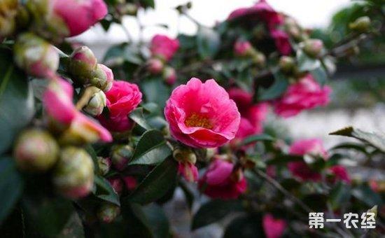 盆栽山茶花怎么养 山茶花的养殖方法和注意事项