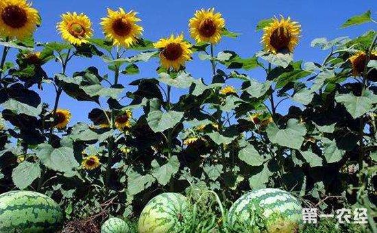 西瓜和向日葵如何套作?瓜葵套作种植的技术要点