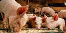 仔猪的腹泻和母猪的奶水有什么直接联系