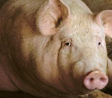 <b>冬季猪便秘和尿窝的情况怎么解决?</b>