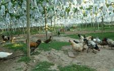 葡萄园怎样生态饲养成鸡?