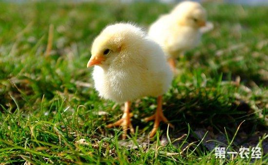 葡萄园雏鸡生态饲养的关键点是什么?