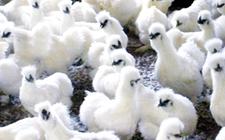 泰和乌鸡有哪些药用价值?
