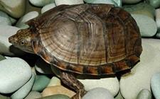 <b>乌龟感染摩根氏变形杆菌怎么办?乌龟疾病防治介绍</b>