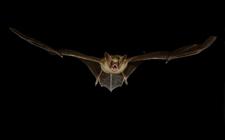 <b>蝙蝠的生活习性是怎样的?蝙蝠生活习性介绍</b>