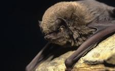 <b>蝙蝠是怎样进行生长繁殖的?蝙蝠的繁殖特点有哪些?</b>