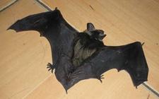 <b>蝙蝠属于胎生还是卵生?蝙蝠是哺乳动物吗?</b>
