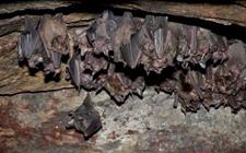 <b>蝙蝠的天敌有哪些?蝙蝠是由老鼠变的吗?</b>