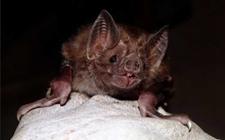 吸血蝙蝠有哪些种类?吸血蝙蝠有什么危害?