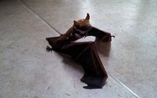 <b>被蝙蝠咬了会怎么样?被蝙蝠咬了怎么办?</b>
