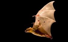 蝙蝠是鸟类吗?蝙蝠是否属于鸟类?