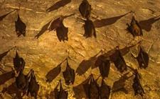 <b>蝙蝠到底有没有毒?蝙蝠吃什么?</b>