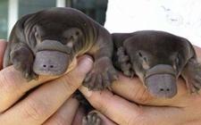 鸭嘴兽的生长繁殖是怎样的?鸭嘴兽具有怎样的繁殖特点?