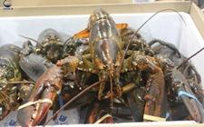 <b>日本秋刀鱼短缺严重 北美龙虾产量逐年下降</b>