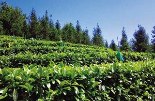 底圩茶属于什么茶?底圩茶的产地分布