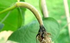 丝瓜炭疽病怎么防治?丝瓜炭疽病的病症与防治