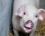 如何判定猪缺锌?猪缺锌的症状