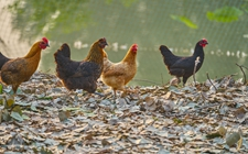 2017年12月14日最新鸡蛋价格行情 淘汰鸡价格行情 白羽肉毛鸡价格行情