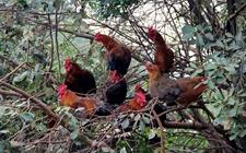 怎样鉴别生态鸡、家鸡和肉鸡?