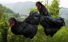 无量山乌骨鸡的生长特性是什么?