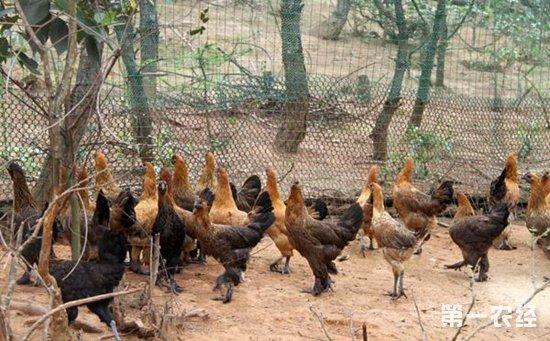 如何高效饲喂无量山乌骨鸡?