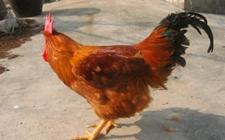鹿苑鸡的市场前景怎样?