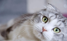 <b>怎样训练折耳猫?折耳猫有哪些训练技巧</b>