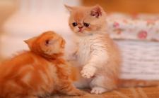 <b>异国短毛猫得了猫藓怎么办?短毛猫猫藓治疗方法</b>