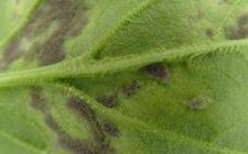 菠菜霜霉病用什么药?菠菜霜霉病的综合防治方法