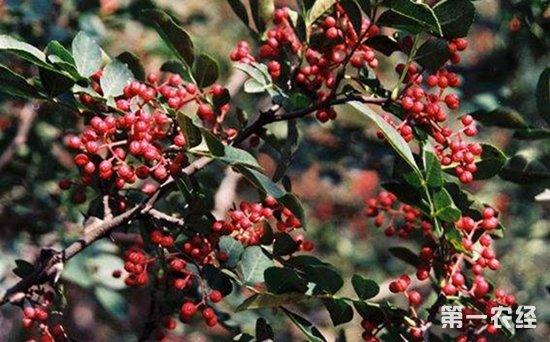 花椒树种植怎么管理?花椒树种植的管理技术要点