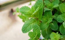 盆栽薄荷怎么养?薄荷的养殖方法和注意事项