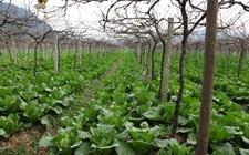 葡萄种植怎么越冬?冬季葡萄的越冬栽培技术