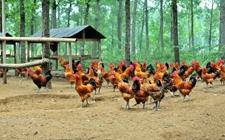 柴鸡林下养殖有哪些益处?