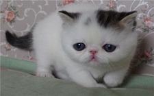 <b>异国短毛猫常见的遗传病有哪些?异国短毛猫常见遗传病介绍</b>