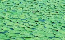 江苏苏州著名特产之一:太湖莼菜