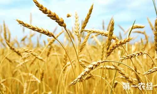 2017年12月15日河南省小麦收购价格行情