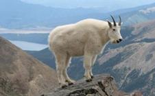 如何知道羊是否生病?观察羊是否生病的方法
