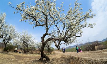越冬梨树管理措施