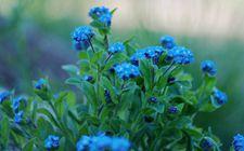 <b>8种开蓝色花朵的花卉,你见过几种?</b>