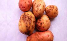 <b>马铃薯得了粉痴病该怎么办?粉痴病的防治方法</b>