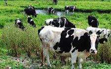 <b>奶牛风湿病的药物防治和中医药疗法</b>