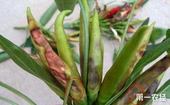 朝天椒染上病害怎么办?朝天椒常见病害的防治方法