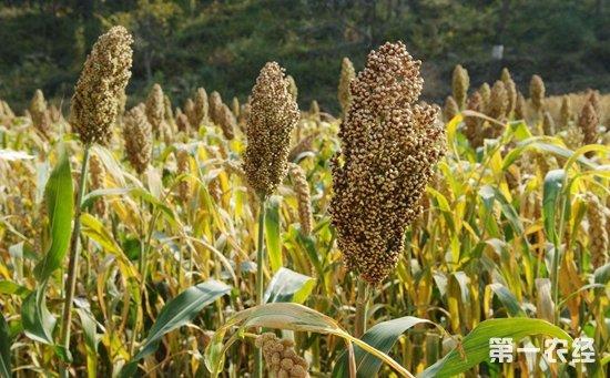 甜高粱怎么种植 甜高粱的种植技术与管理