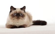 如何辨别纯种猫还是杂种猫?纯种猫的辨别