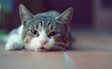 猫咪中暑了怎么办?猫咪中暑急救方法
