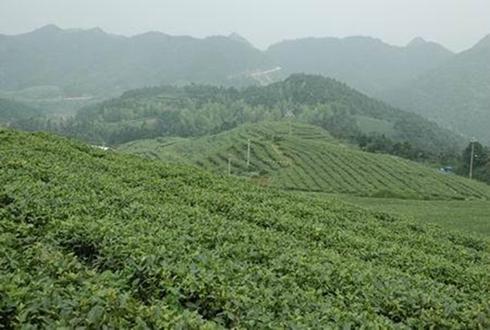 福建福鼎:白茶产业助农打赢脱贫攻坚战