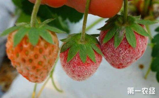 草莓白粉病怎么治?大棚草莓白粉病的危害与防治