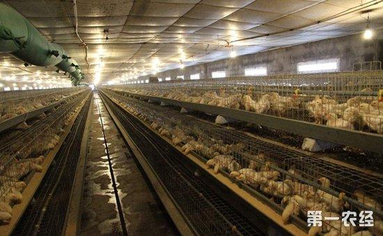 如何有效进行鸡舍环境空气质量控制?