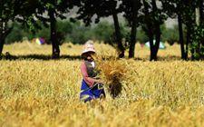 2017年西藏粮食喜获丰收 预计粮食总产达103.7万吨