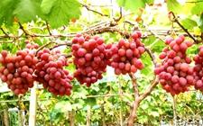 <b>秘鲁成全球第五大食用鲜葡萄出口国</b>